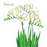 Vector outline pastel white Freesia flower bunch with bud and green leaves isolated on white background. Perennial fragrant plant. Vector outline pastel white Royalty Free Stock Image