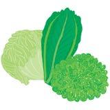 Vector painterly lettuce set; editable, scalable illustration. stock illustration