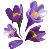 Vector pasque-flower. A picture of 5 pasque-flower Stock Photography