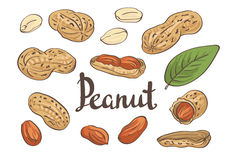 Vector Peanuts, kernels and leaves. Stock Images