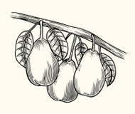Vector pear tree vintage sketch. stock illustration