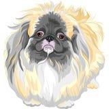 Vector pedigreed dog Sable Pekingese breed. Color sketch sad Sable Pekingese dog (Lion-Dog, Pekingese Lion-Dog, Pelchie Dog, or Peke Stock Image