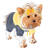 Vector Pedigreed dog Yorkshire terrier. Yorkshire terrier red color with a yellow bow in a yellow jacket and black pants Royalty Free Stock Image