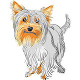 Vector Pedigreed dog Yorkshire terrier. Closeup color sketch Yorkshire terrier red and black Royalty Free Stock Images