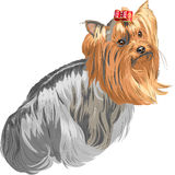 Vector Pedigreed dog Yorkshire terrier. Color sketch Yorkshire terrier red and black sstands back and looks over his shoulder Stock Images