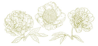 Vector peonies. Stock Photography