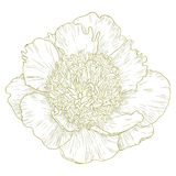 Vector peony flower. Stock Images
