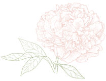 Vector peony flower. Vector peony flower in vintage engraving style Stock Photo