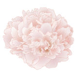 Vector peony flower. Vector peony flower isolated on white background Royalty Free Stock Photos