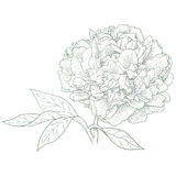 Vector peony flower. Vector peony flower in vintage engraving style Stock Images