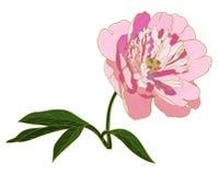 Vector peony flower. Stock Image