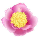 Vector peony. Royalty Free Stock Photo