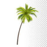 Green Coconut Palm Stock Images