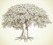 Vector picture. Oak with green crown Stock Photography