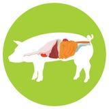 Vector pig anatomy. digestive system. Vector pig anatomy. digestive system of the pig. incide view stock illustration