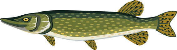 Vector Pike fish illustration on white Stock Photo