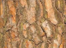 Vector Pine bark. Very realistic pine bark. Illustration Stock Image
