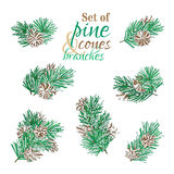 Vector pine branches  on white background. Pine branches with needles and cones. Vector nature illustration. Christmas design elements Royalty Free Stock Photos