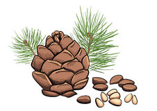 Vector pine nut clipart Royalty Free Stock Photos