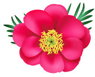 Vector pink peony with green leaves isolated on white. Marin root. Paeonia anomala Royalty Free Stock Image