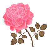 Vector pink rose. With leaves. petals with heart shape Royalty Free Stock Photography