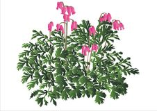 Vector plant Dicentra stock photos