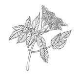 Vector plant - elderberry Royalty Free Stock Images