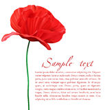 Vector Poppy Royalty Free Stock Images