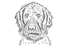 Vector portrait of hunting dog. German wirehaired pointer isolated on white background Stock Image