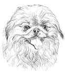 Vector portrait of Pekingese dog. In black color hand drawing Illustration on white background Royalty Free Stock Images