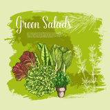 Vector poster of lettuce salads leafy vegetables Royalty Free Stock Photography
