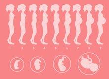 A Vector of Pregnant Progression. Illustration stock illustration