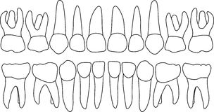 Dental row primary teeth. Anatomically correct baby teeth Vector primary teeth dental row Stock Photography