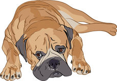 Vector Purebred Bullmastiff. Purebred brown bullmastiff portrait lying Royalty Free Stock Photography