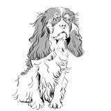 vector Purebred dog Cavalier King Charles Spaniel Stock Image