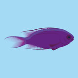 Vector Purple Fish Isolated On Blue Background. Purple Fish Isolated On Blue Background Royalty Free Stock Image