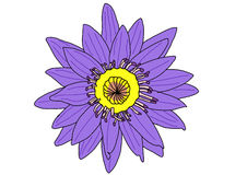 The Vector of Purple Lotus. The Vector of the one Purple Lotus Royalty Free Stock Photography