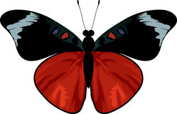 Vector Queen Flasher butterfly - panacea regina Stock Photo
