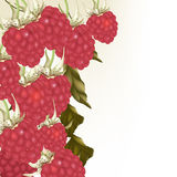 Beautiful vector background with realistic pink  raspberry Stock Photo