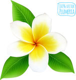 Vector realistic isolated plumeria flower Stock Image