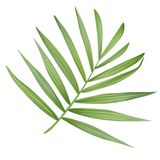 Vector realistic palm leaf isolated on a white background. stock illustration