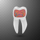 Vector Realistic Tooth. 3D Teeth with Inner Part Veins Template on Transparent Overlay Background vector illustration