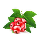 Vector red currant isolated on a white background Stock Images