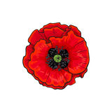 Vector red poppy flower blossom blooming closeup. Vector red poppy flower blooming closeup. Isolated illustration on a white background. Realistic hand drawn Stock Images