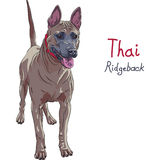 Vector red Thai Ridgeback Dog breed standing stock photo