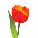 Vector Red tulip. Spring flower tulip bright red with a green leaf Royalty Free Stock Image