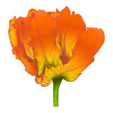 Vector red tulip. Stock Photo