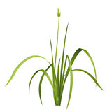 Vector  reed. Water green plant. Stock Images