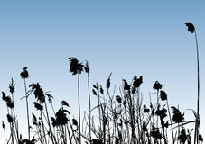 Vector Reeds Stock Photo