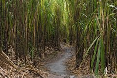 A footpath through the reeds at the foot of the Arenal vulkan in Costa Rica.  Royalty Free Stock Photos